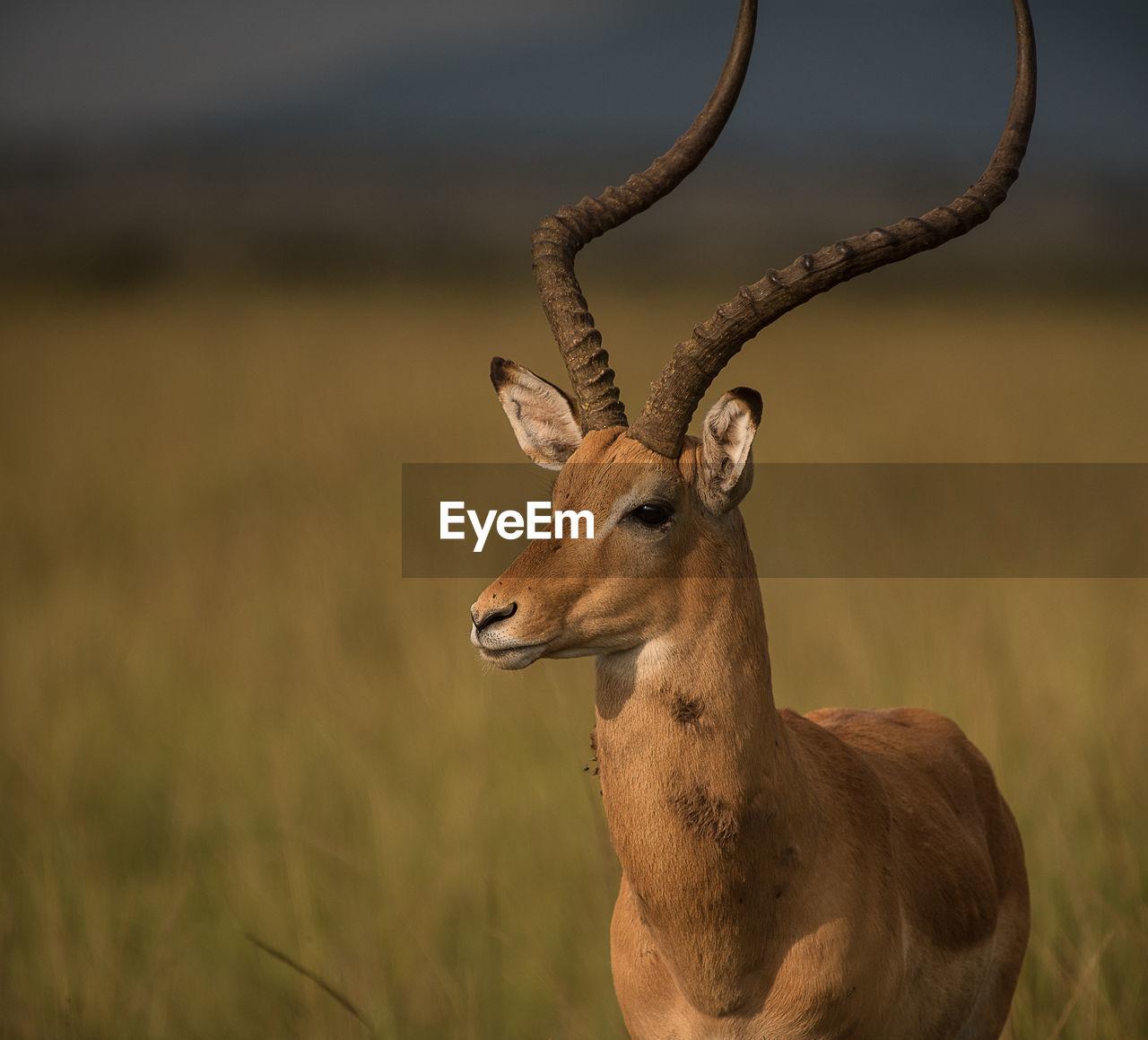 Gazelle Standing On Field