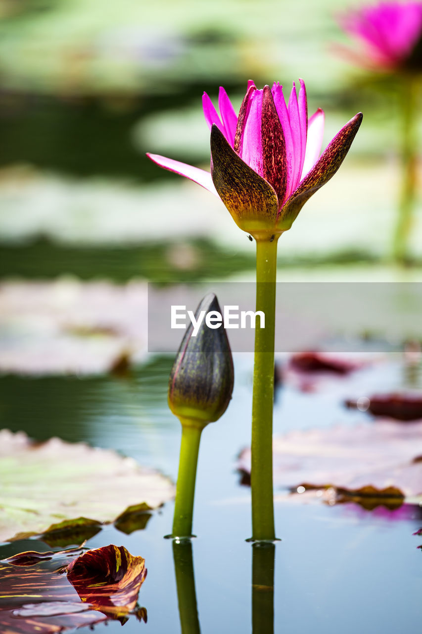 flower, flowering plant, water, beauty in nature, vulnerability, freshness, plant, fragility, growth, close-up, water lily, lake, petal, nature, focus on foreground, flower head, lily, inflorescence, lotus water lily, no people, pink color, floating on water, purple, pollen