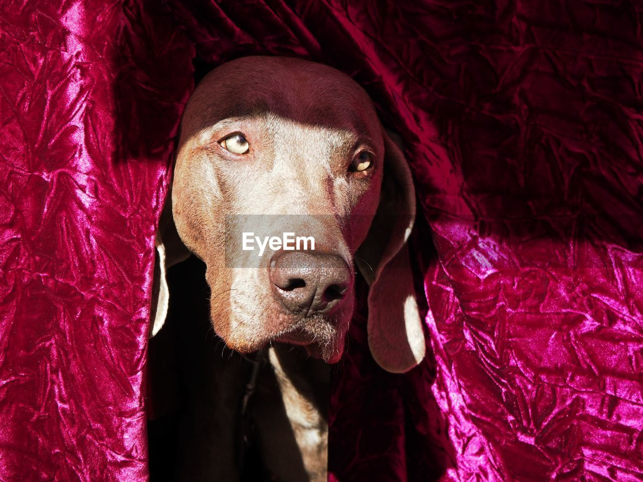 mammal, one animal, pets, domestic animals, domestic, animal themes, animal, dog, canine, looking at camera, vertebrate, portrait, indoors, no people, close-up, textile, animal body part, high angle view, furniture, red, animal head, weimaraner