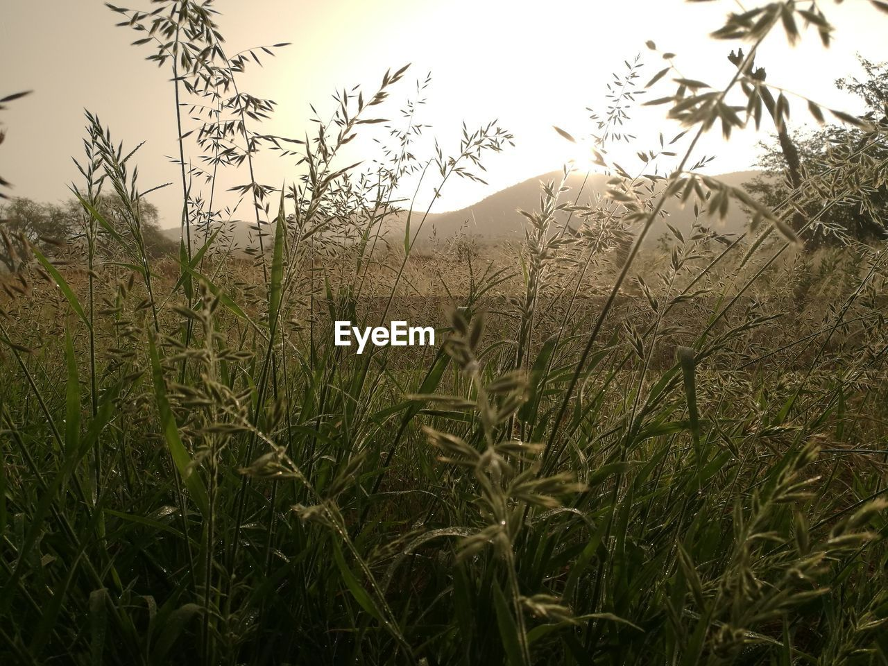 growth, nature, grass, field, crop, tranquility, tranquil scene, agriculture, no people, plant, outdoors, cereal plant, day, landscape, beauty in nature, wheat, scenics, rural scene, sky, water, rice paddy, clear sky, close-up