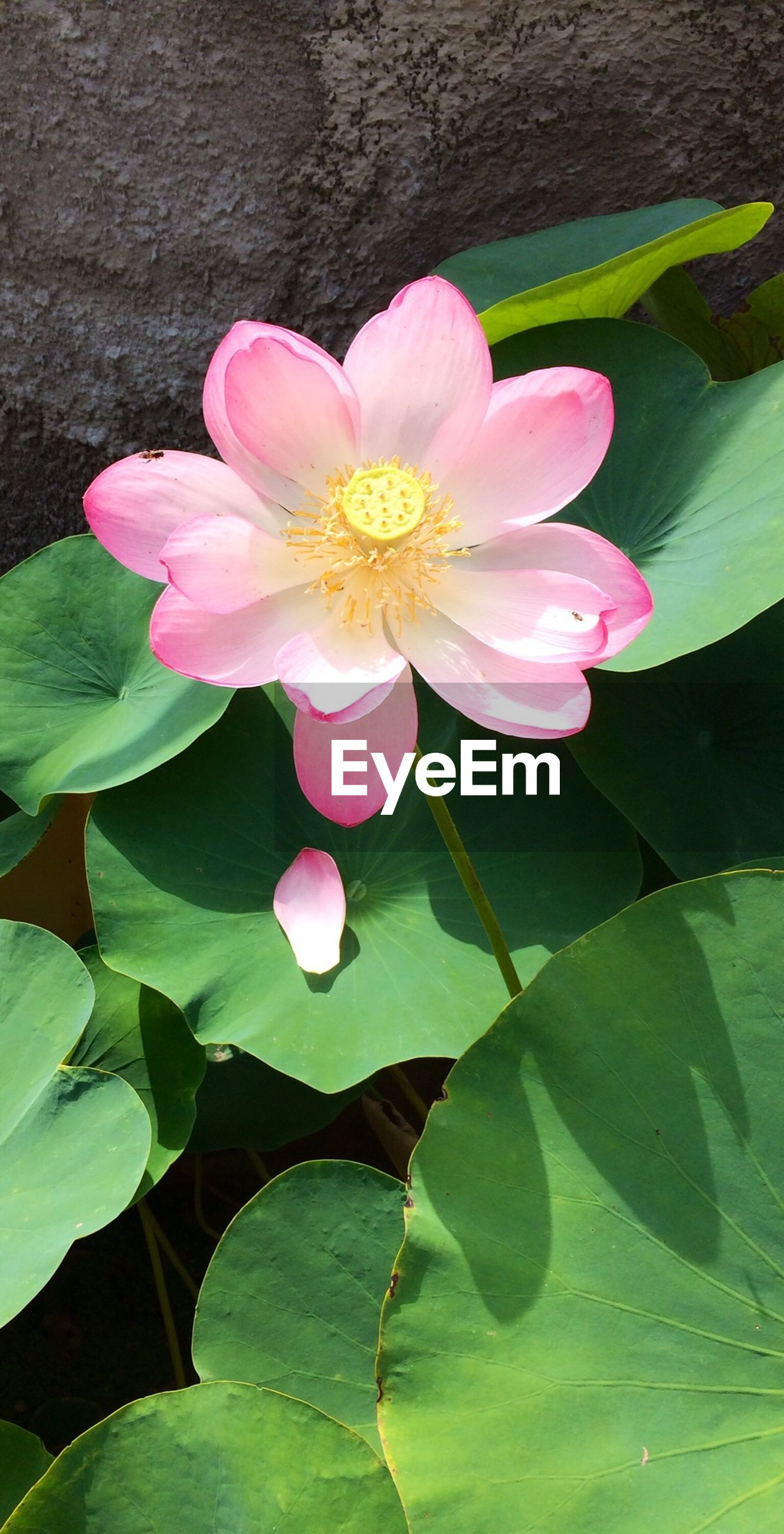 flower, petal, freshness, fragility, leaf, flower head, pink color, growth, beauty in nature, single flower, nature, blooming, plant, water lily, close-up, green color, in bloom, pond, lotus water lily, blossom