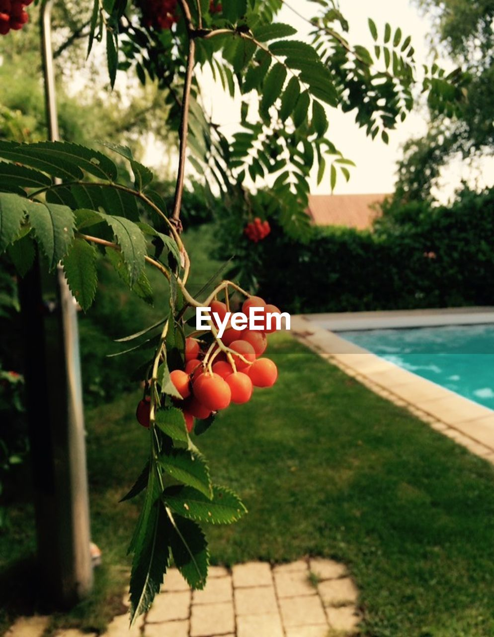 tree, day, food and drink, growth, outdoors, focus on foreground, nature, fruit, leaf, no people, food, water, freshness, beauty in nature, plant, healthy eating, swimming pool, close-up