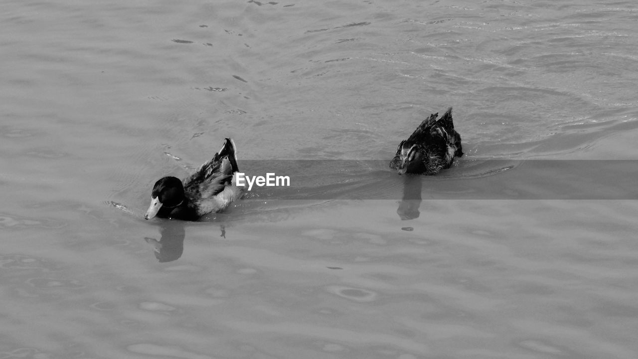 water, animal themes, animal, swimming, high angle view, group of animals, animals in the wild, vertebrate, animal wildlife, waterfront, nature, day, sea, outdoors, bird, no people, duck, two animals, marine