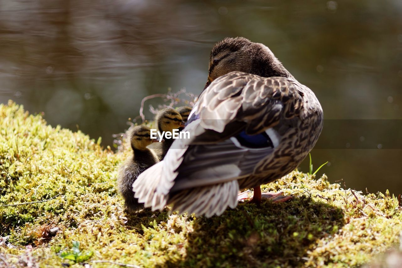 High Angle View Of Mallard Duck With Ducklings At Lakeshore