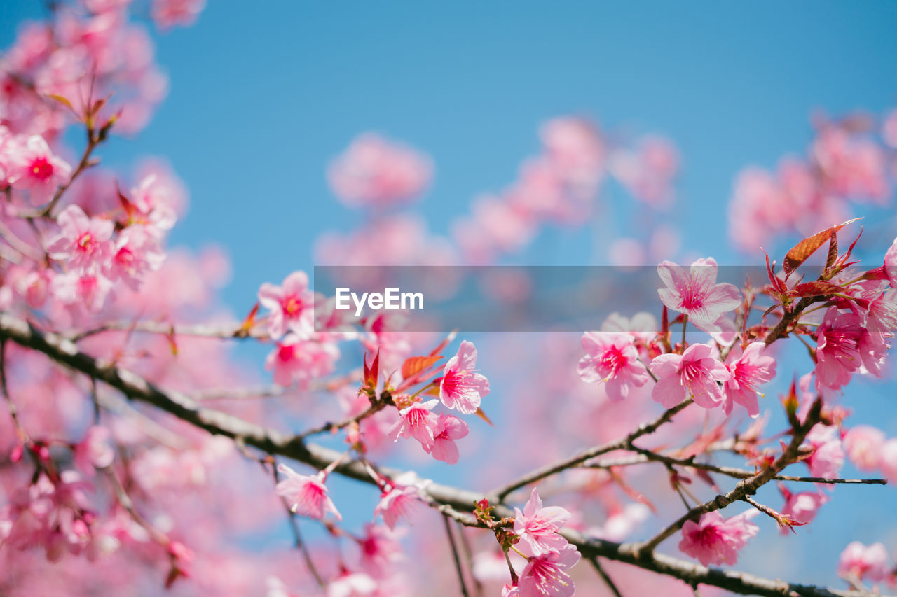 CLOSE-UP OF PINK CHERRY BLOSSOMS ON BRANCH