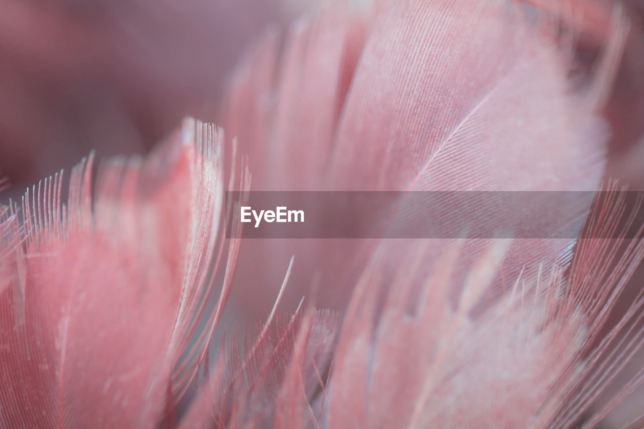 selective focus, close-up, pink color, vulnerability, beauty in nature, fragility, plant, no people, softness, extreme close-up, flower, growth, backgrounds, full frame, flowering plant, nature, freshness, natural pattern, pattern, petal, lightweight