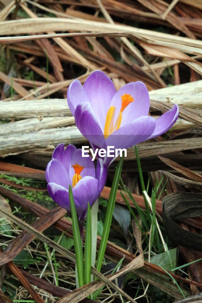 flower, petal, growth, beauty in nature, fragility, nature, flower head, freshness, purple, blooming, day, field, high angle view, plant, crocus, outdoors, no people, close-up