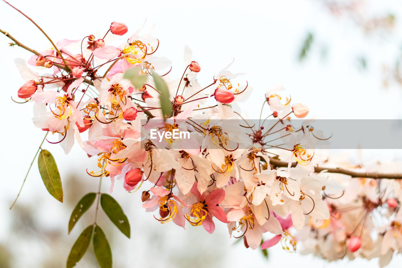 flower, plant, flowering plant, freshness, fragility, beauty in nature, vulnerability, growth, tree, close-up, pink color, branch, springtime, blossom, nature, petal, no people, flower head, low angle view, selective focus, pollen, cherry blossom, cherry tree, bunch of flowers