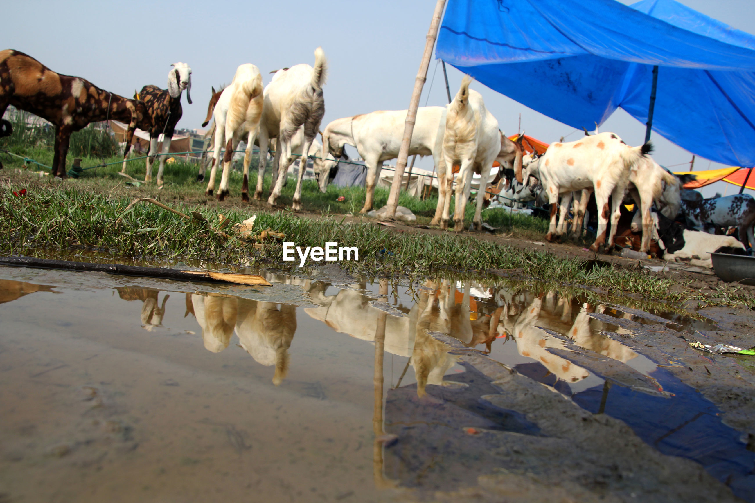 Herd of goats at farm against sky
