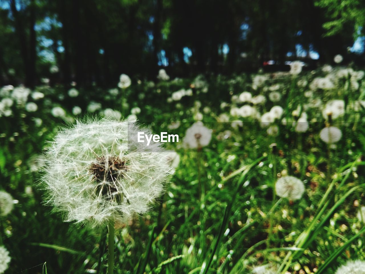 plant, flower, dandelion, freshness, flowering plant, beauty in nature, fragility, close-up, growth, focus on foreground, field, vulnerability, nature, flower head, inflorescence, day, green color, land, no people, dandelion seed, outdoors, softness