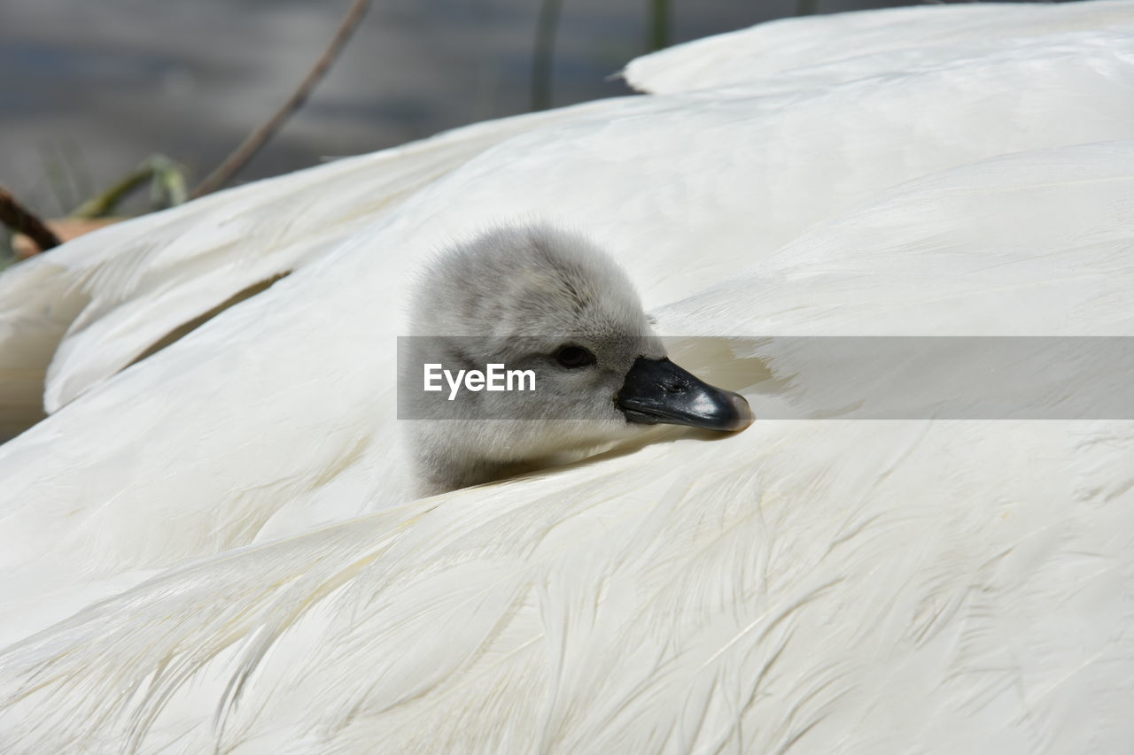 Close-Up Of Cygnet In Swan Wing