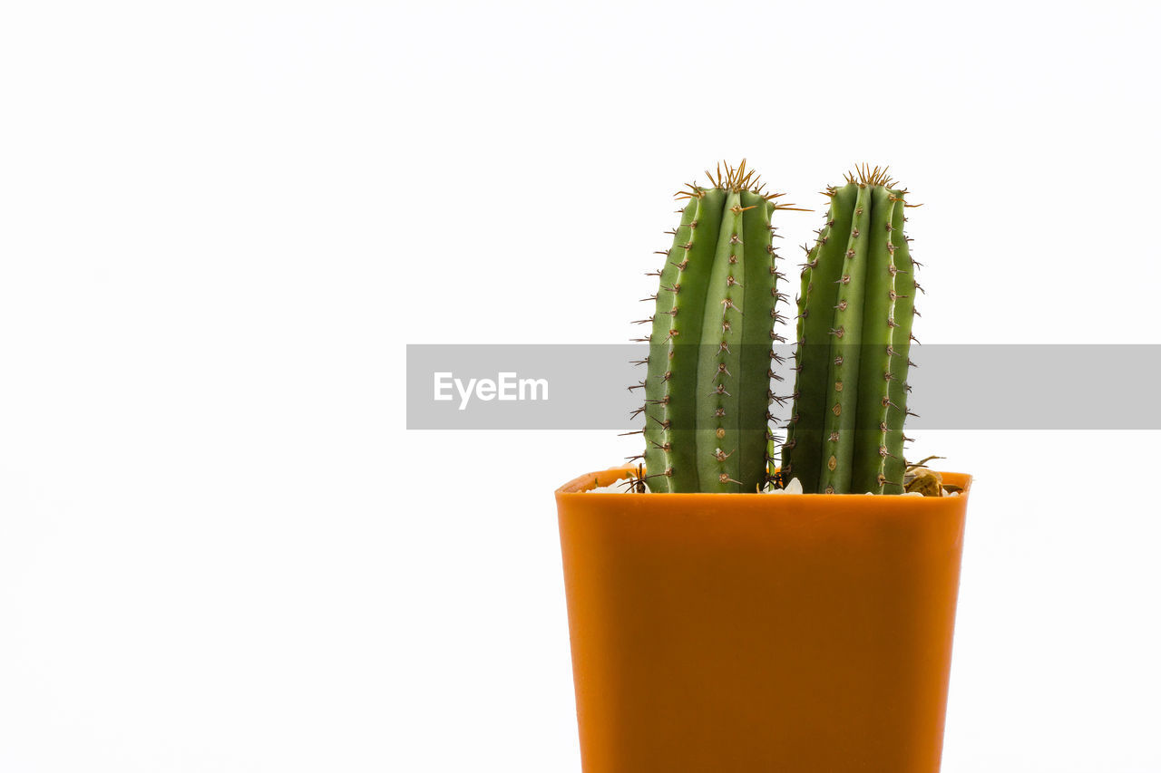 studio shot, succulent plant, cactus, white background, copy space, green color, plant, indoors, potted plant, growth, no people, close-up, thorn, freshness, cut out, still life, nature, beauty in nature, spiked, food and drink, glass, houseplant