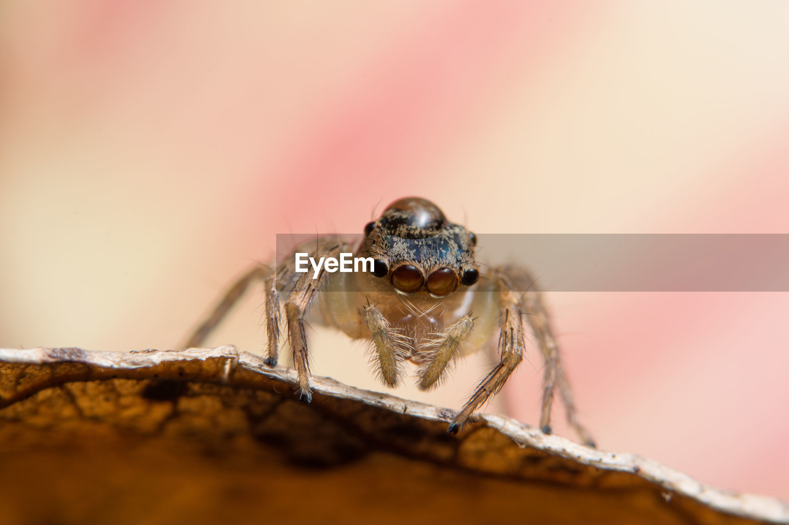Close-up of jumping spider on dry leaf