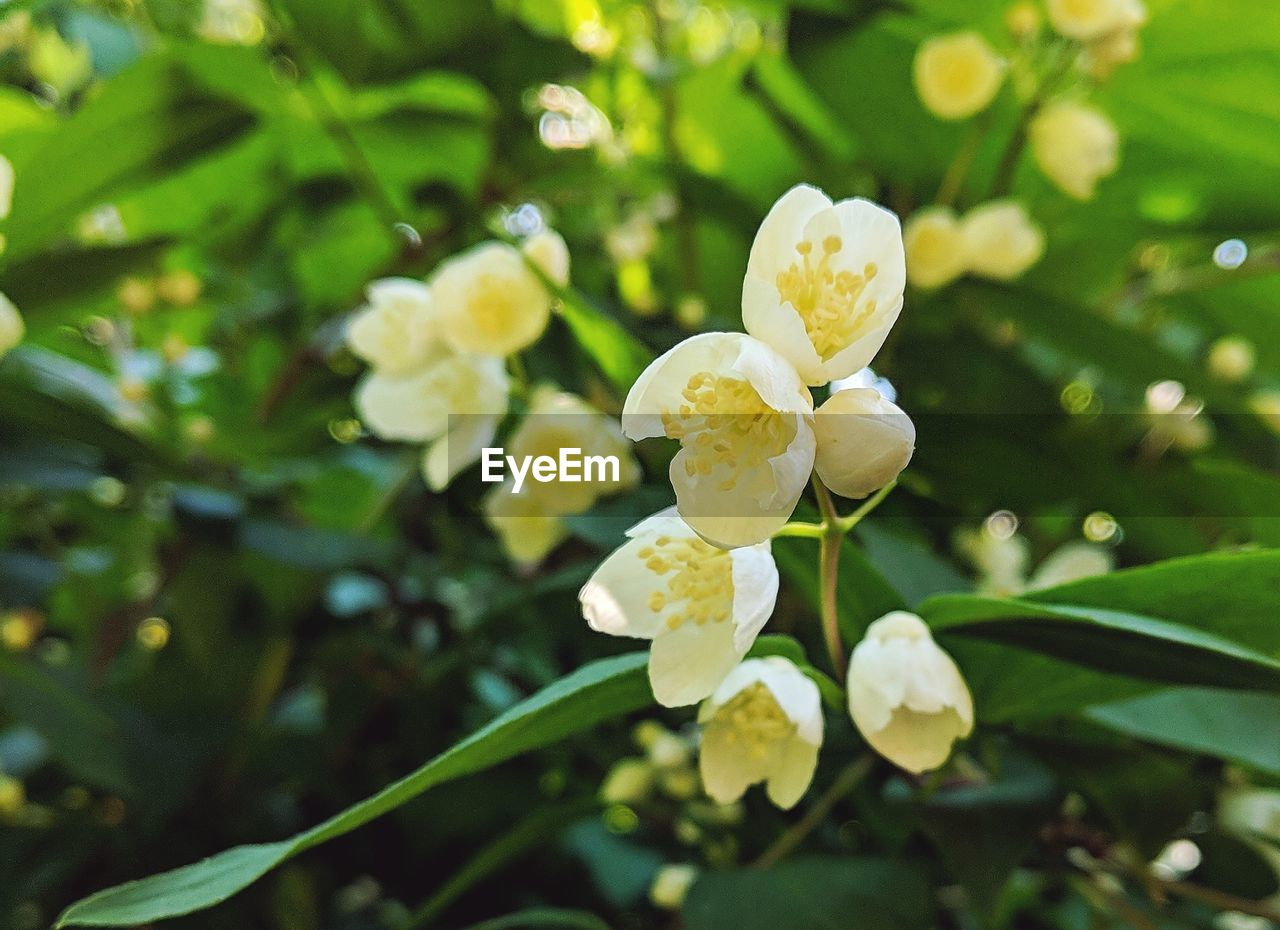 plant, flowering plant, flower, beauty in nature, fragility, vulnerability, freshness, growth, petal, close-up, inflorescence, flower head, white color, nature, day, yellow, no people, selective focus, focus on foreground, leaf, outdoors, springtime, spring