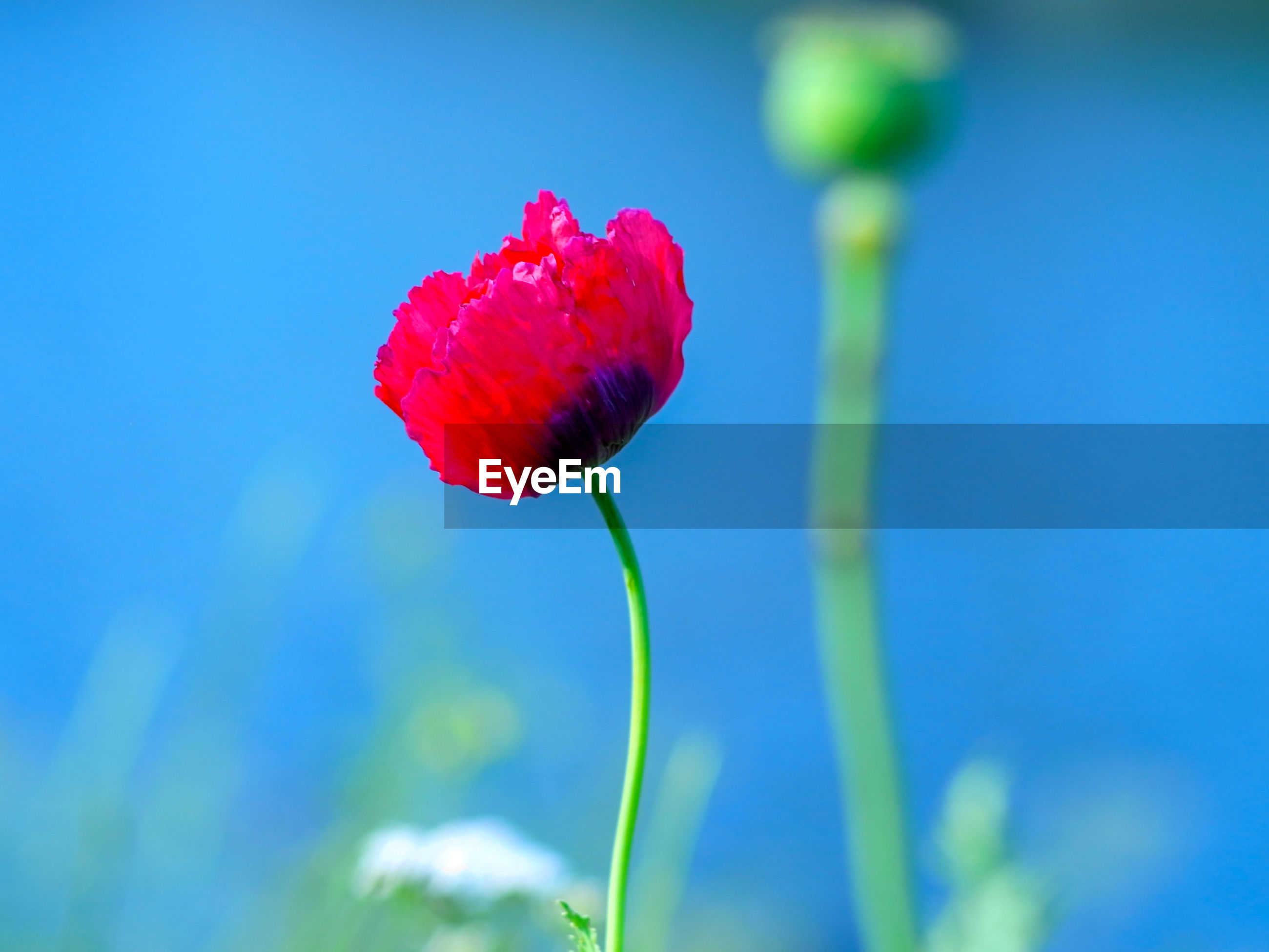 CLOSE-UP OF RED ROSE FLOWER AGAINST BLUE SKY