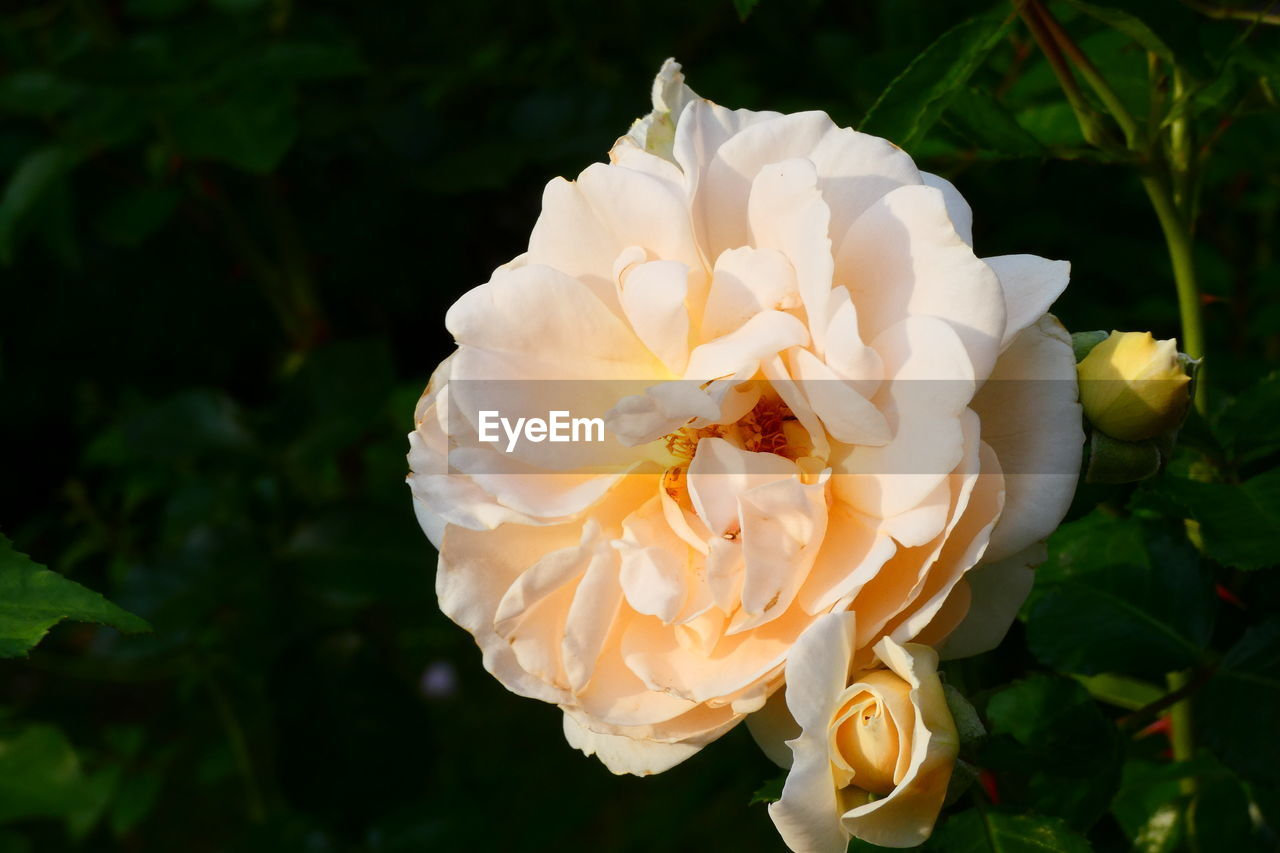 flower, plant, flowering plant, beauty in nature, petal, freshness, flower head, vulnerability, inflorescence, growth, fragility, close-up, rose, nature, rose - flower, focus on foreground, no people, white color, day, softness