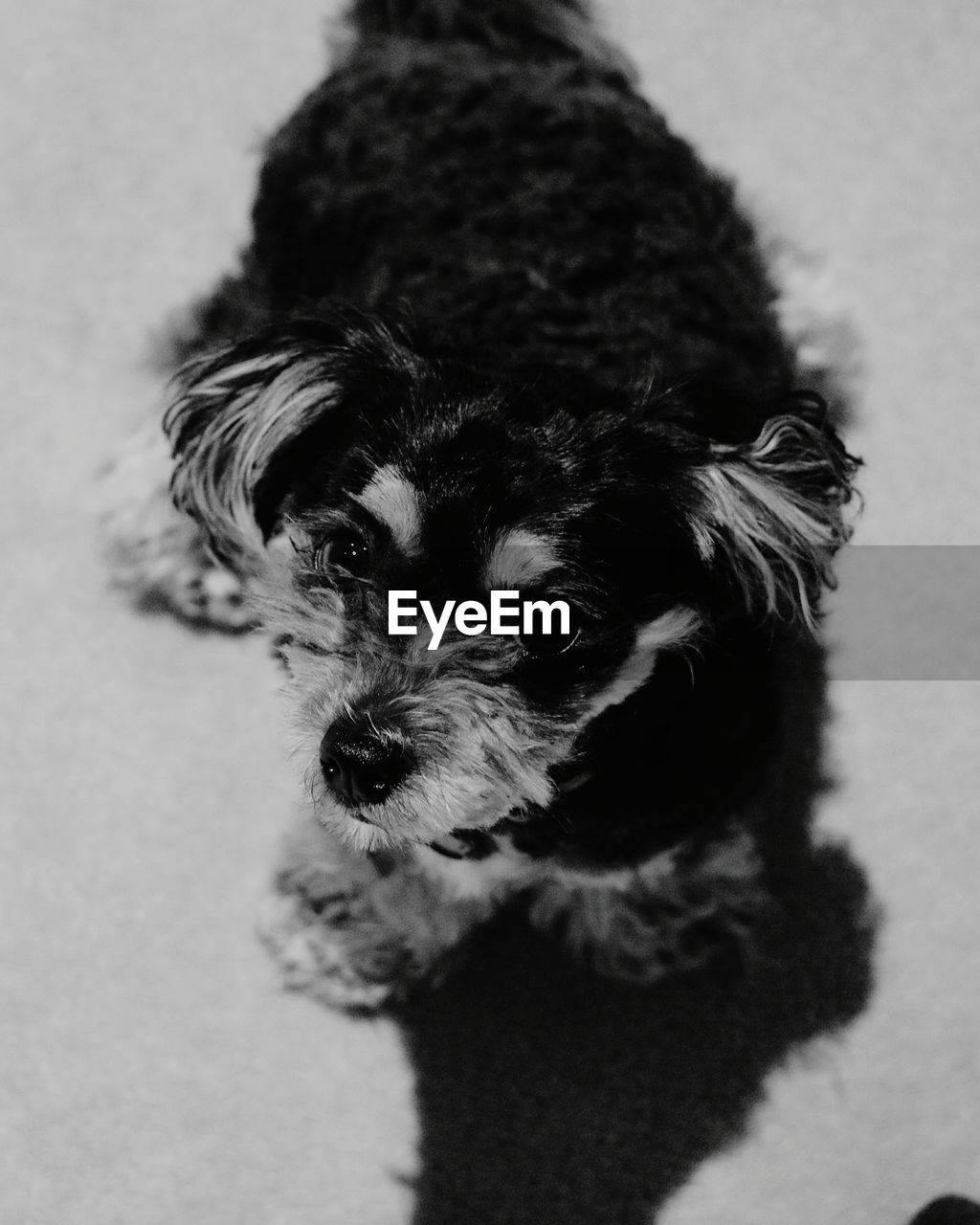 pets, dog, domestic animals, one animal, mammal, looking at camera, portrait, animal themes, indoors, close-up, no people, day