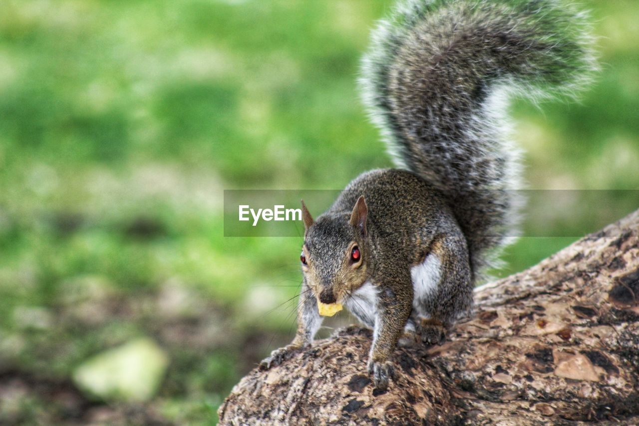 animal themes, animal, one animal, animal wildlife, animals in the wild, mammal, vertebrate, focus on foreground, no people, squirrel, rodent, day, nature, close-up, outdoors, land, solid, looking away, looking, rock, whisker