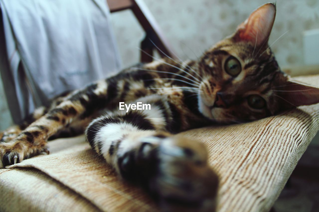 cat, pets, domestic, feline, domestic cat, domestic animals, animal themes, animal, mammal, vertebrate, one animal, relaxation, indoors, furniture, selective focus, lying down, resting, no people, sofa, looking at camera, whisker