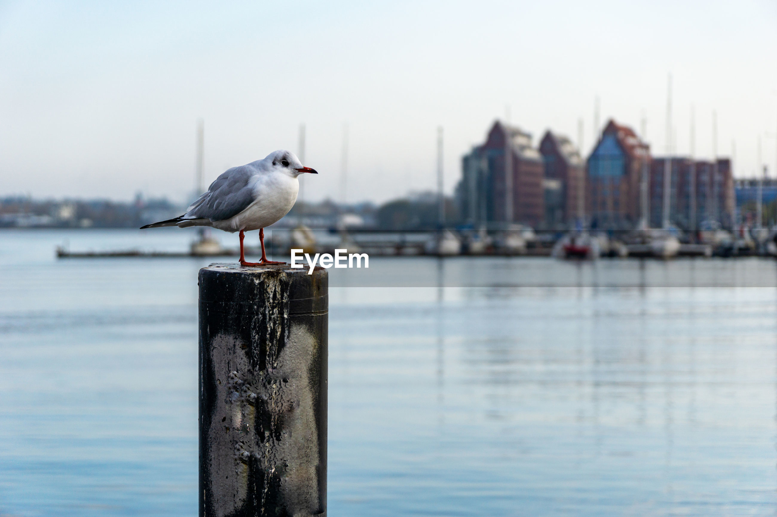 SEAGULL PERCHING ON A WOODEN POST