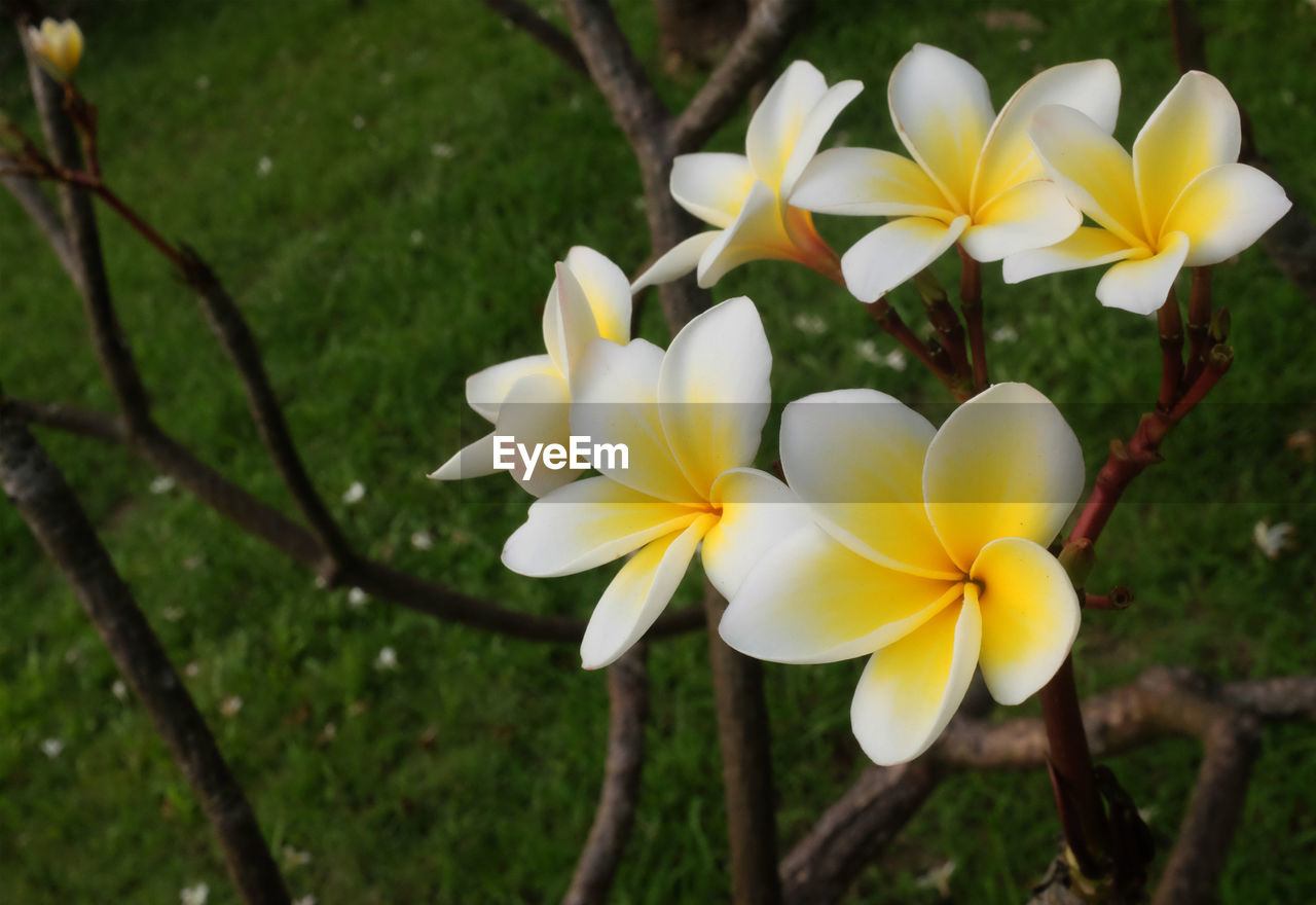 flower, flowering plant, plant, fragility, vulnerability, freshness, petal, beauty in nature, growth, flower head, inflorescence, yellow, close-up, nature, white color, focus on foreground, frangipani, day, no people, field