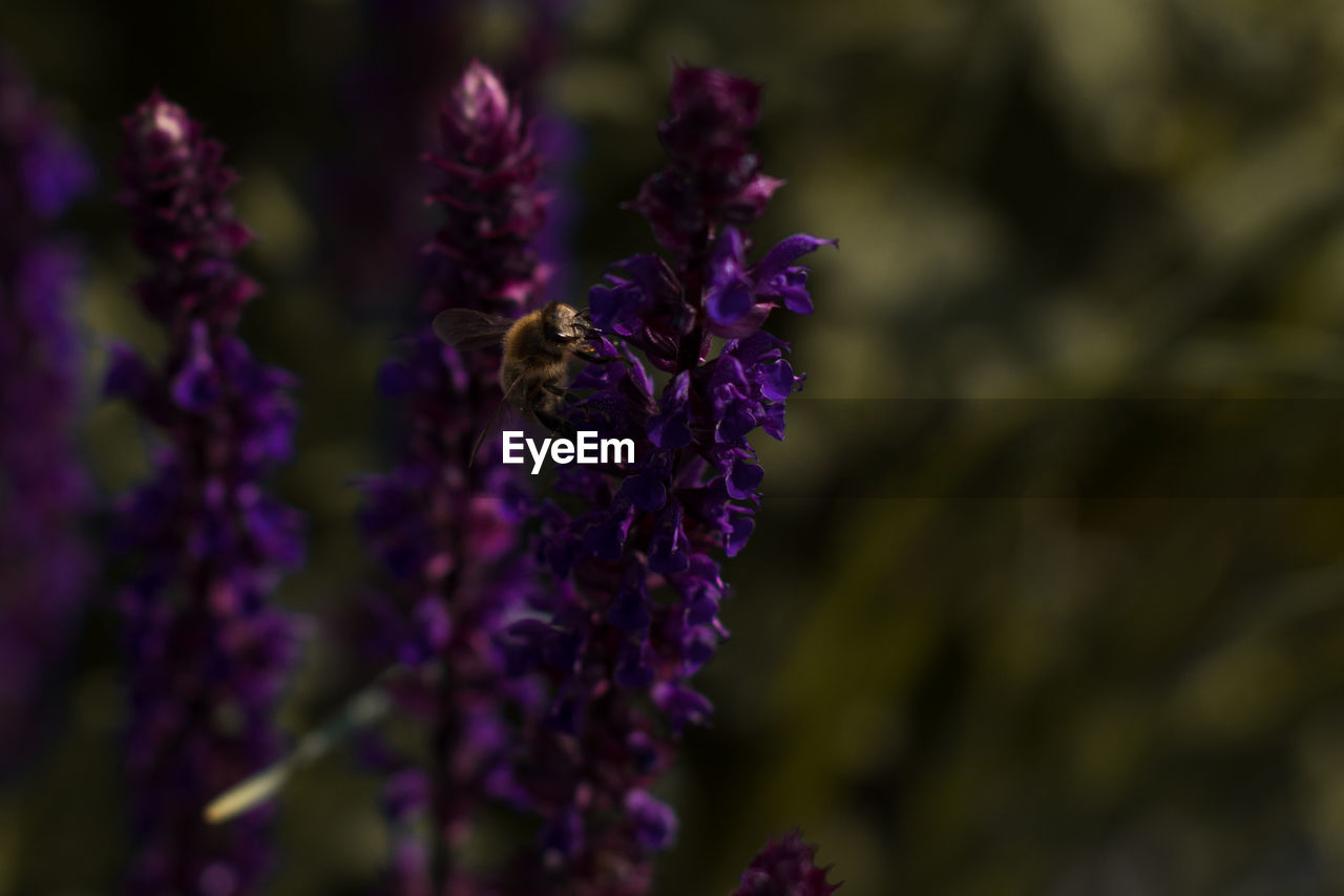 flower, flowering plant, animals in the wild, fragility, purple, beauty in nature, bee, one animal, insect, invertebrate, vulnerability, animal themes, animal, animal wildlife, growth, plant, petal, freshness, close-up, flower head, pollination, honey bee, no people, lavender, bumblebee