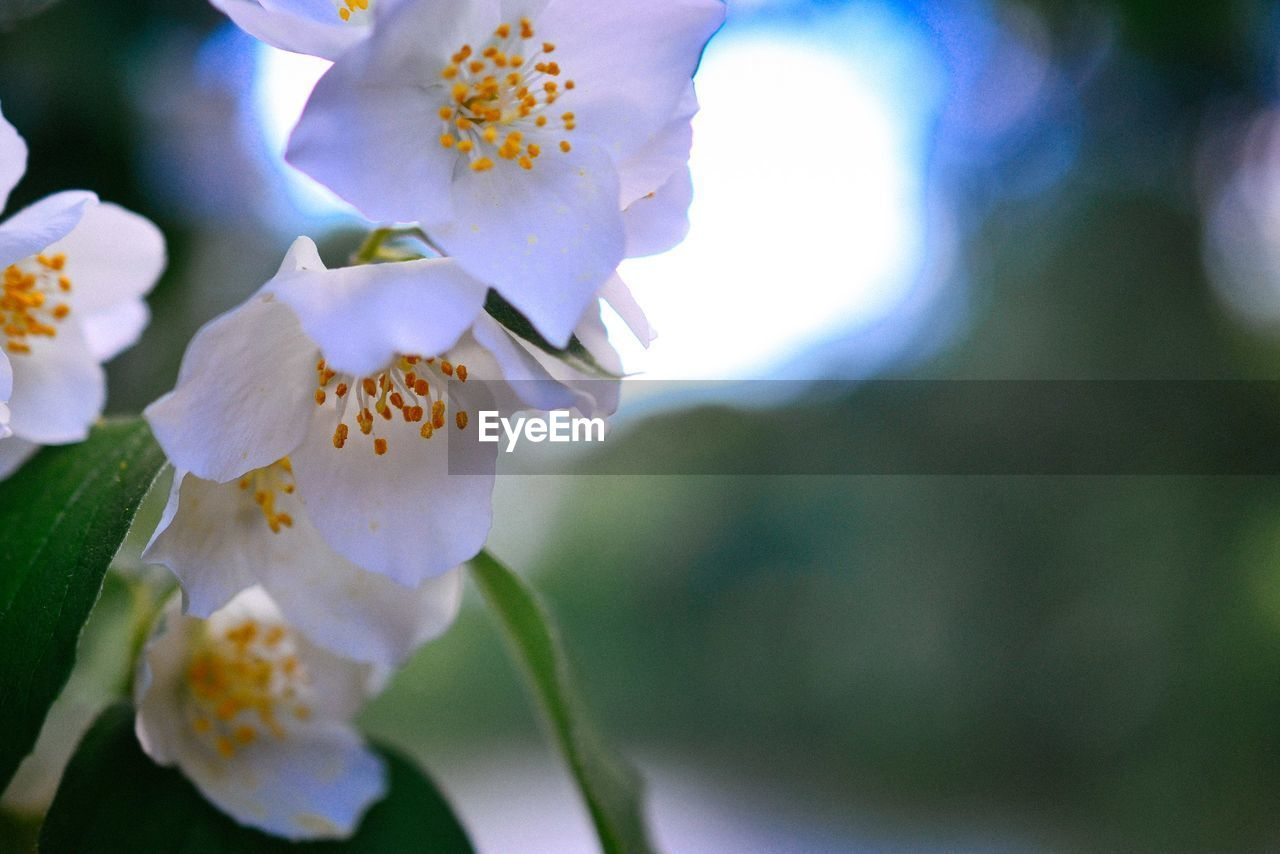 flower, fragility, freshness, petal, beauty in nature, nature, flower head, growth, white color, close-up, blooming, focus on foreground, day, outdoors, no people, springtime, stamen, plant