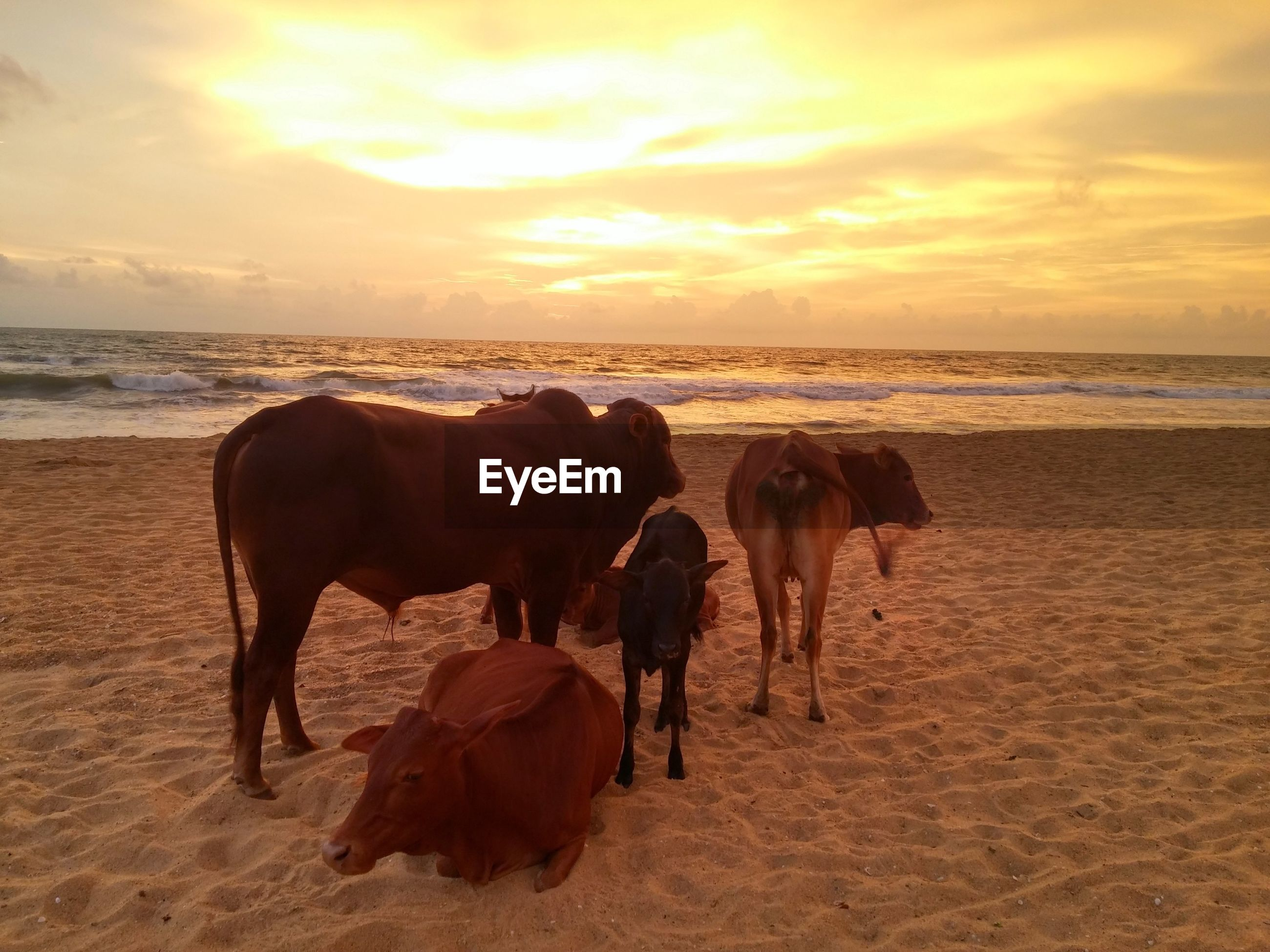 COWS ON SAND AT BEACH AGAINST SKY