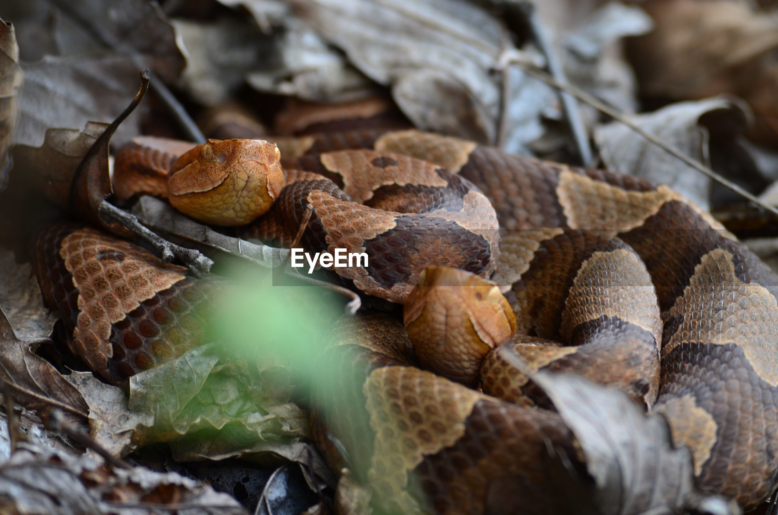 Two northern copperheads upclose