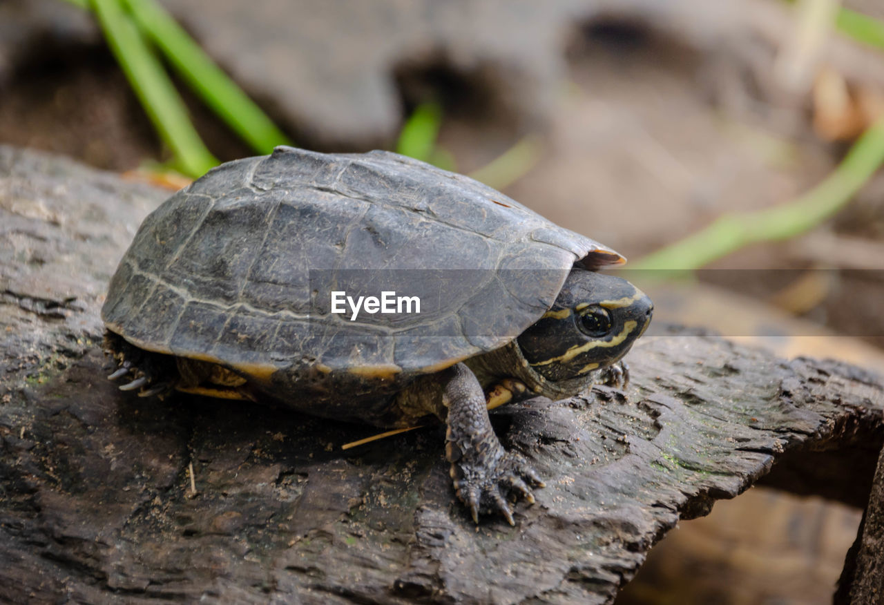 one animal, animal themes, animal, reptile, animal wildlife, turtle, animals in the wild, vertebrate, close-up, focus on foreground, no people, nature, day, tortoise, wood - material, outdoors, tree, shell, rock - object, rock