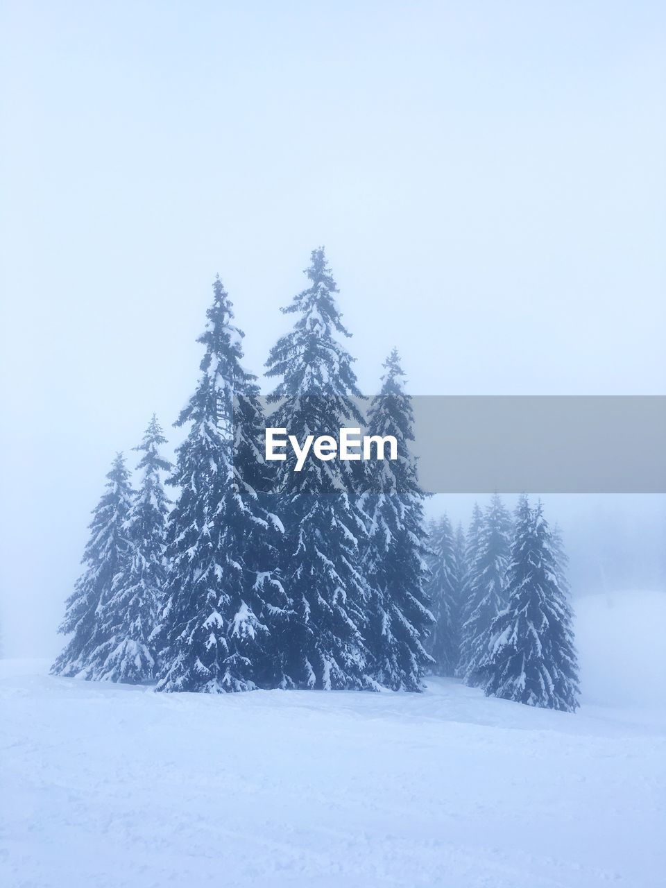 PINE TREES ON SNOW COVERED LAND DURING WINTER