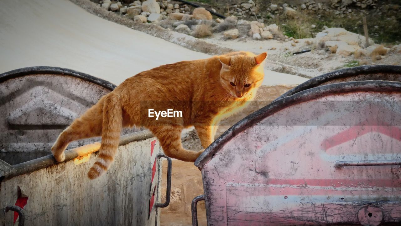 cat, domestic cat, feline, mammal, pets, domestic animals, domestic, animal, animal themes, one animal, vertebrate, no people, transportation, mode of transportation, motor vehicle, side view, land vehicle, car, day, metal, whisker, mouth open, ginger cat