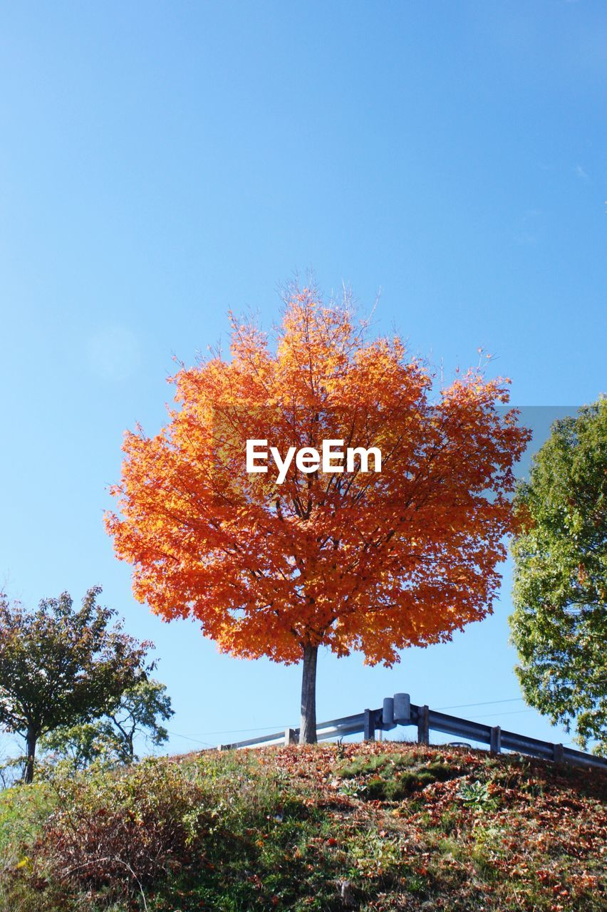 autumn, tree, change, leaf, nature, beauty in nature, tranquility, tranquil scene, outdoors, day, scenics, growth, maple tree, no people, branch, clear sky, blue, sky, landscape, maple