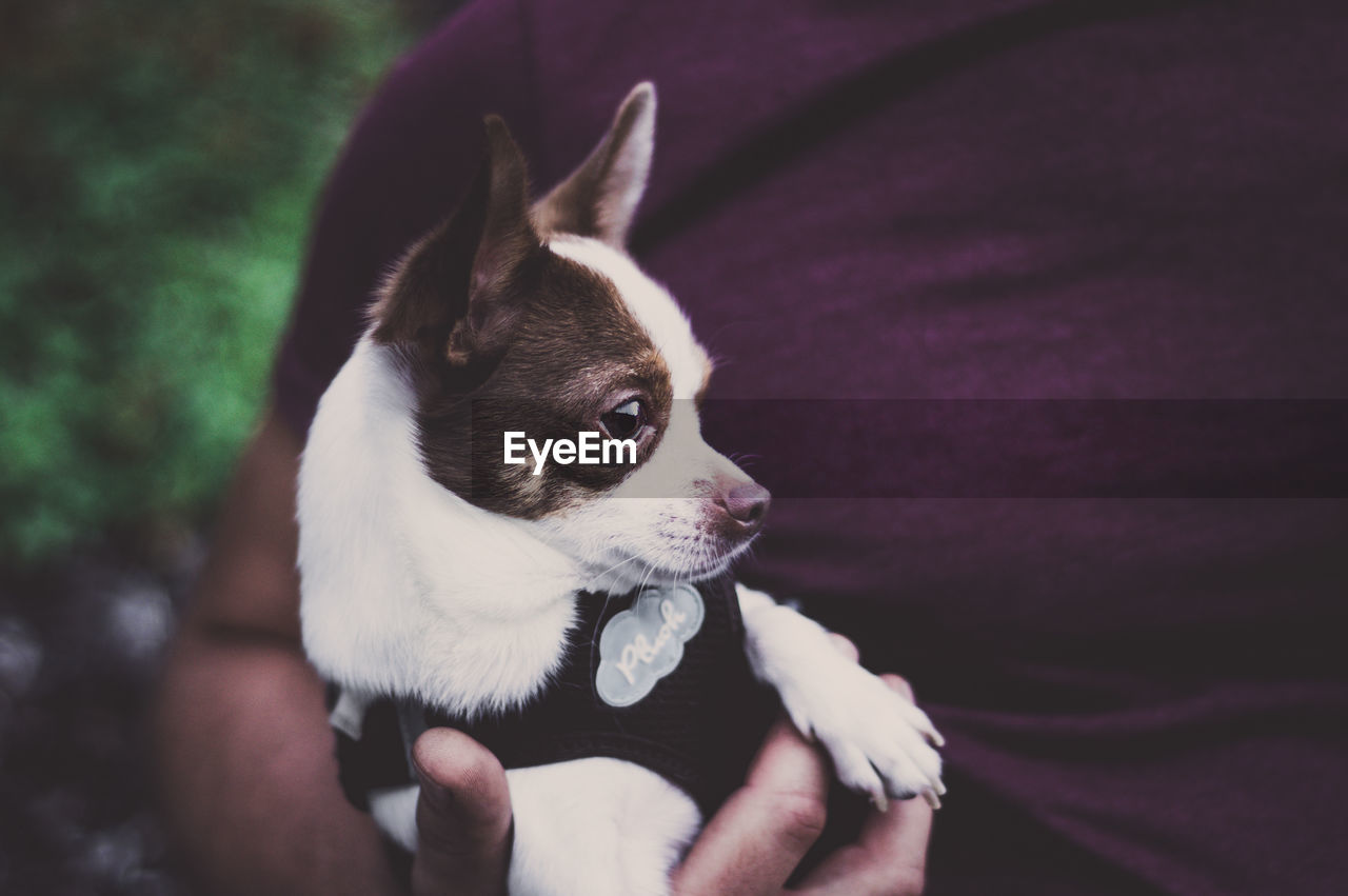 domestic animals, domestic, pets, one animal, mammal, vertebrate, dog, canine, hand, human hand, real people, one person, human body part, holding, unrecognizable person, close-up, focus on foreground, small, finger, chihuahua - dog
