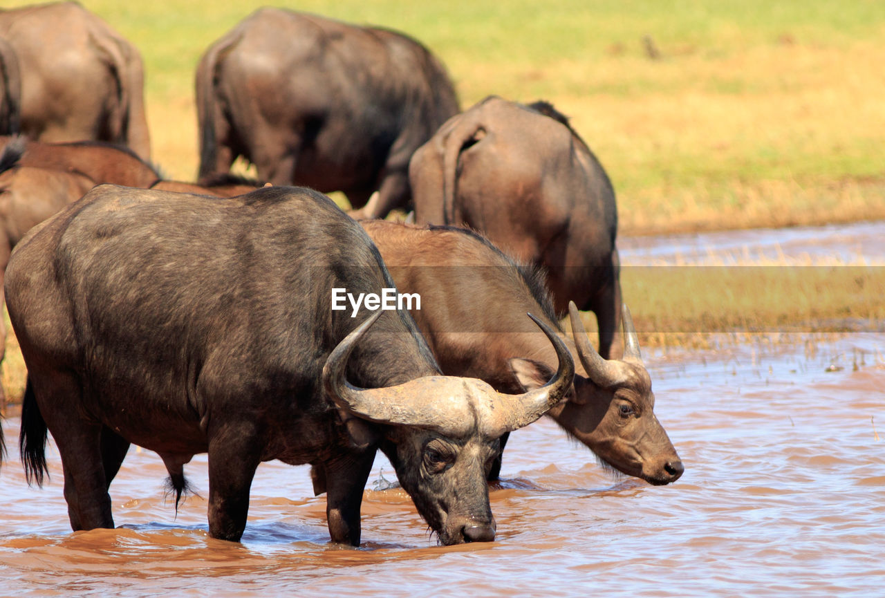 Buffaloes Drinking Water While Standing In Lake