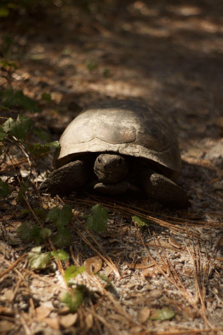 turtle, animal themes, animal wildlife, selective focus, animal, one animal, animals in the wild, reptile, land, tortoise, nature, no people, close-up, field, shell, day, animal shell, vertebrate, outdoors, boredom, tortoise shell