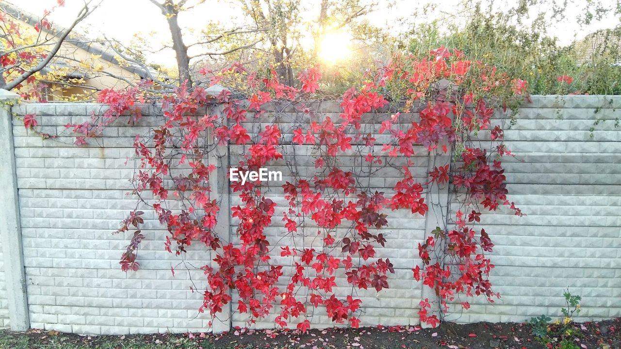 growth, outdoors, day, branch, tree, flower, no people, red, plant, ivy, building exterior, leaf, nature, architecture, built structure, beauty in nature, close-up, freshness, sky