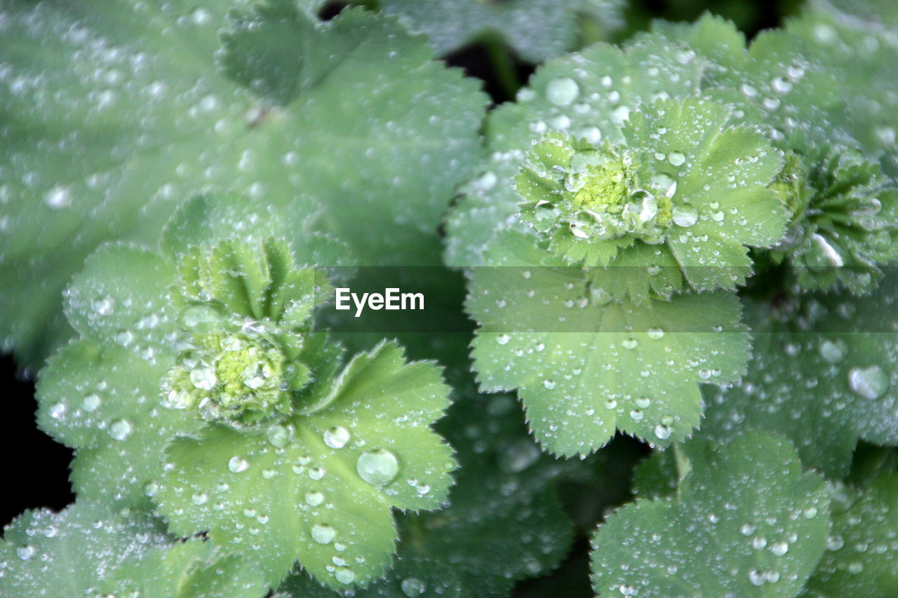 CLOSE-UP OF WATER DROPS ON LEAVES OF RAINDROPS ON PLANT