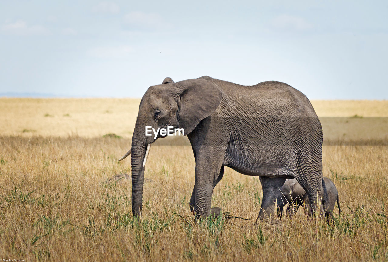 elephant, animals in the wild, animal wildlife, safari animals, animal themes, nature, no people, grass, mammal, tusk, african elephant, side view, outdoors, day, young animal, animal trunk, elephant calf, landscape, sky, beauty in nature