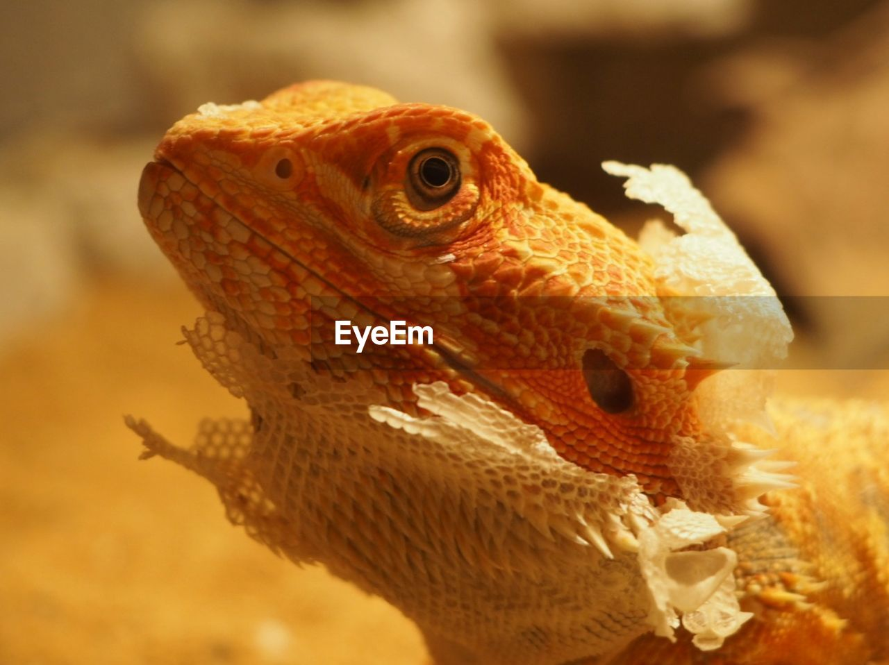 animal themes, one animal, close-up, animal, reptile, lizard, animal wildlife, vertebrate, animals in the wild, focus on foreground, bearded dragon, animal body part, no people, animal head, nature, day, looking, outdoors, looking away, side view, animal scale, animal eye