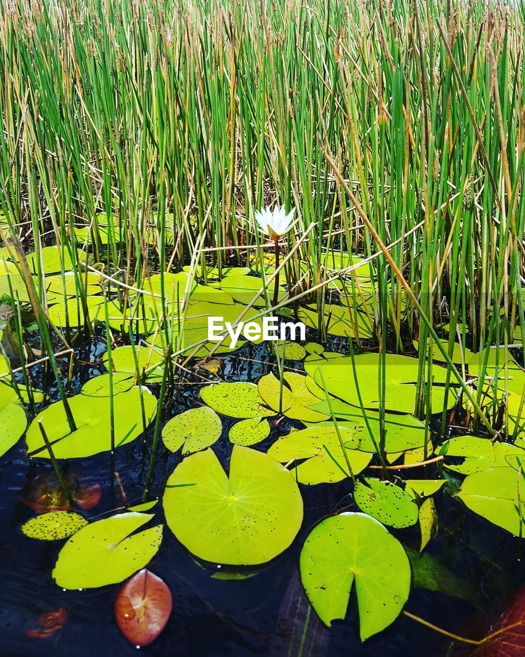 floating on water, pond, lily pad, water lily, growth, leaf, water, nature, beauty in nature, plant, tranquility, lotus water lily, day, green color, no people, freshness, outdoors, fragility, grass, close-up