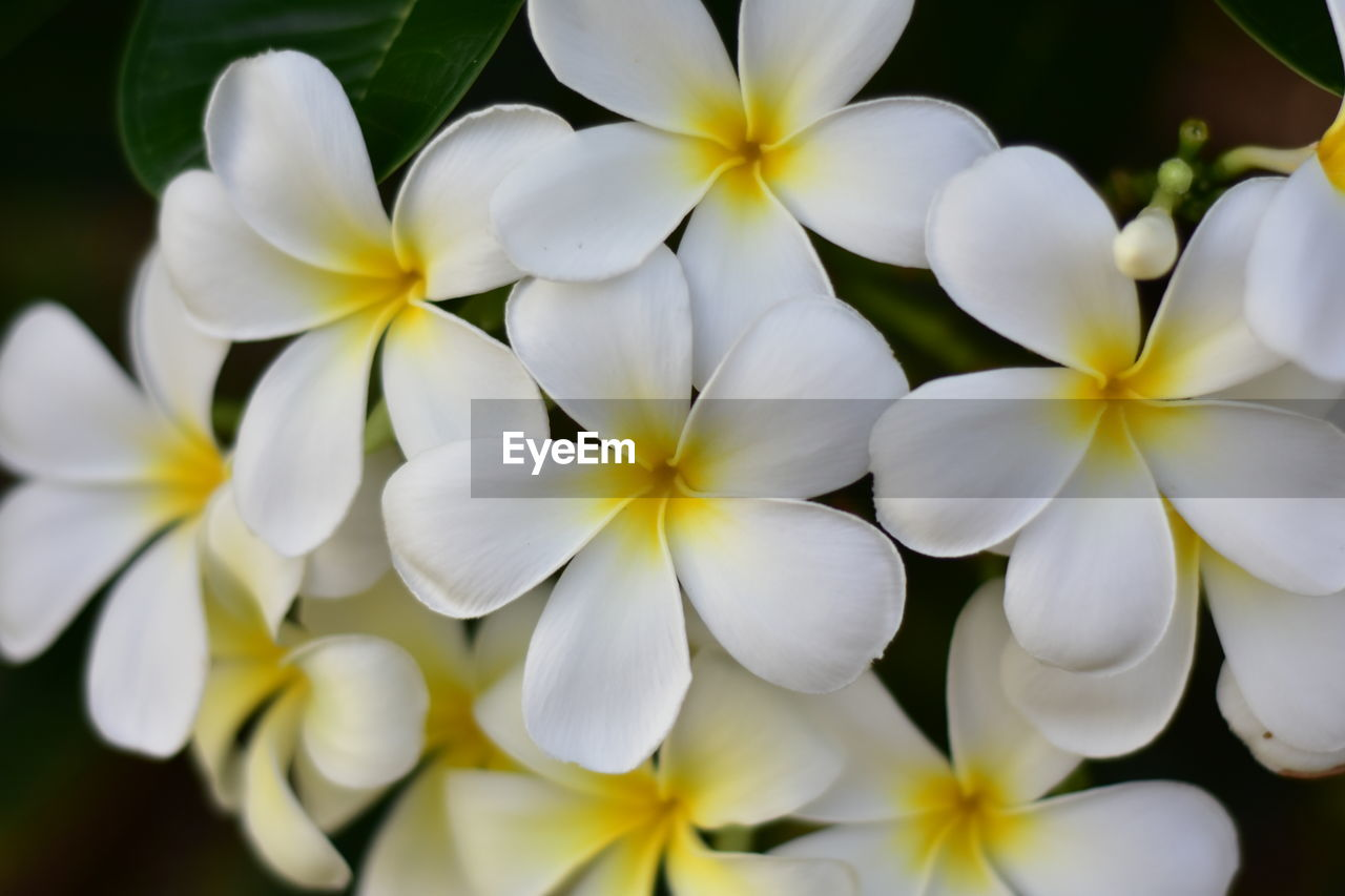 flower, petal, white color, fragility, beauty in nature, flower head, freshness, nature, close-up, no people, day, plant, blooming, growth, outdoors, frangipani