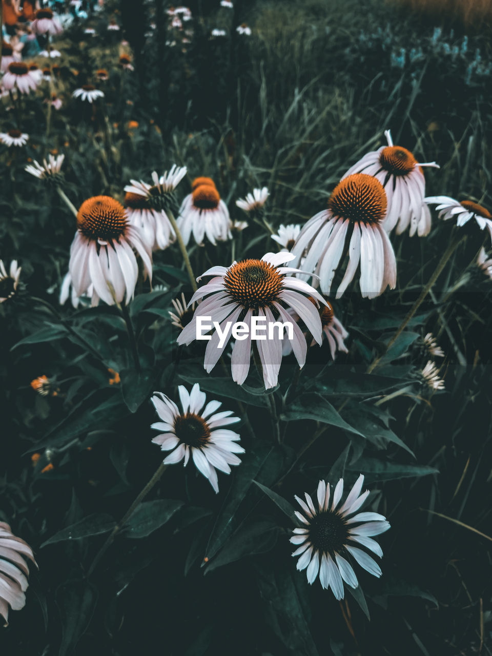 flowering plant, flower, fragility, growth, vulnerability, beauty in nature, plant, freshness, petal, flower head, inflorescence, coneflower, focus on foreground, nature, day, close-up, no people, white color, pollen, high angle view, outdoors
