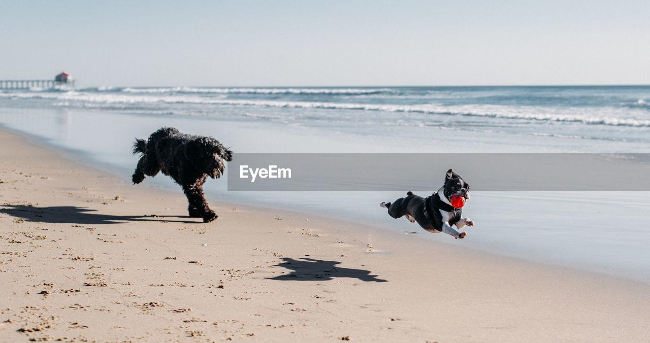 Playful dogs running at beach