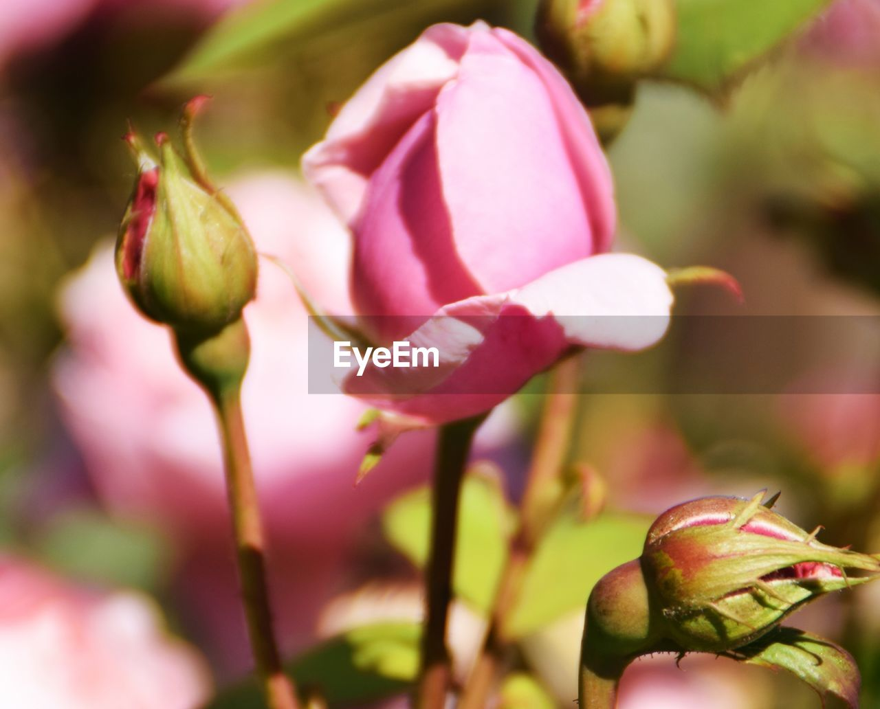 flower, flowering plant, plant, fragility, growth, freshness, vulnerability, close-up, beauty in nature, pink color, petal, bud, nature, day, focus on foreground, no people, flower head, inflorescence, beginnings, plant stem, outdoors, springtime, sepal