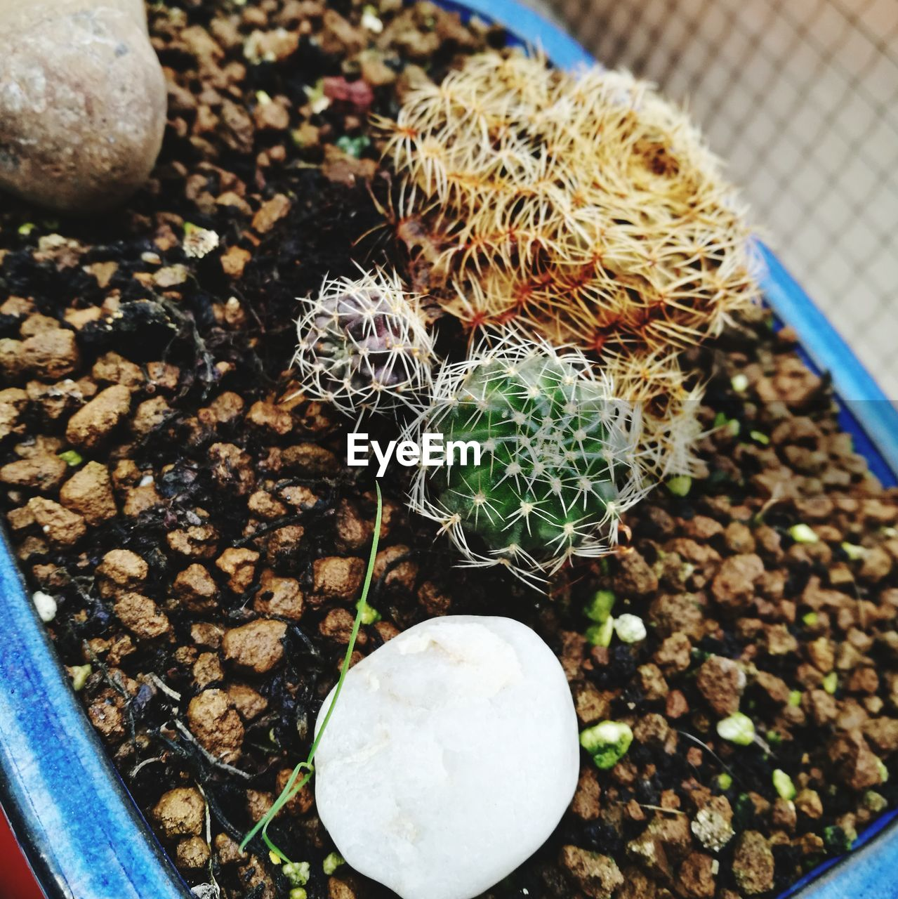 high angle view, cactus, growth, nature, plant, no people, potted plant, outdoors, day, close-up, pebble, beauty in nature, freshness