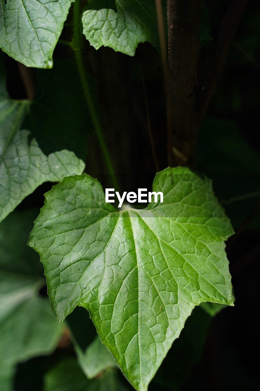 leaf, plant part, green color, close-up, plant, growth, beauty in nature, focus on foreground, nature, no people, day, outdoors, freshness, leaf vein, high angle view, vulnerability, selective focus, sunlight, leaves, fragility