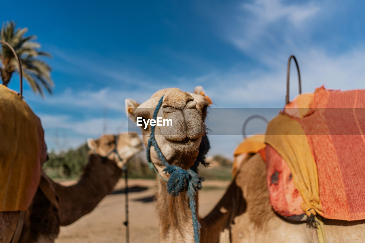mammal, domestic animals, animal themes, pets, camel, animal, domestic, one animal, working animal, animal body part, focus on foreground, livestock, sky, desert, vertebrate, nature, herbivorous, animal head, day, no people, outdoors, animal neck, arid climate, climate