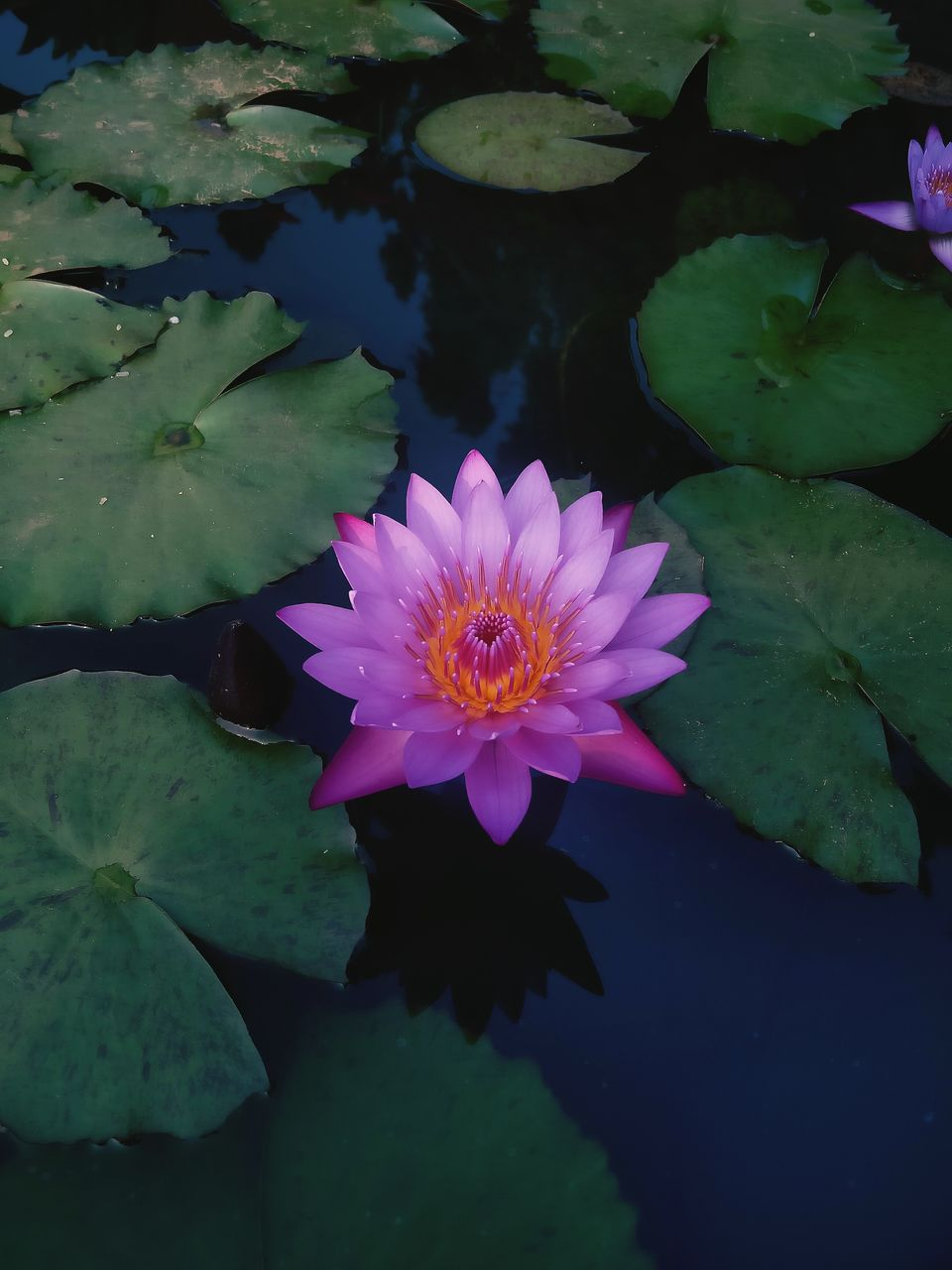 flower, petal, beauty in nature, nature, leaf, fragility, flower head, water lily, plant, growth, freshness, outdoors, water, pollen, no people, lotus water lily, day, floating on water, blooming, close-up, lily pad