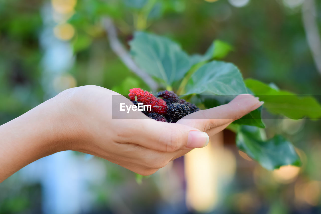fruit, berry fruit, healthy eating, food and drink, human hand, food, hand, focus on foreground, freshness, strawberry, wellbeing, holding, human body part, raspberry, close-up, leaf, one person, day, real people, plant part, ripe, finger, human limb